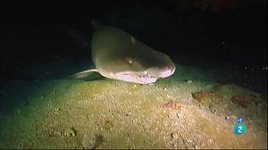 El solraig clapejat (El tiburón toro)
