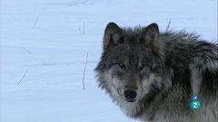 Grans documentals - La lloba de Yellowstone