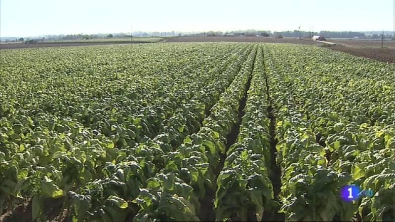 El sector tabaquero de Extremadura teme quedar fuera del plan estratégico para la PAC