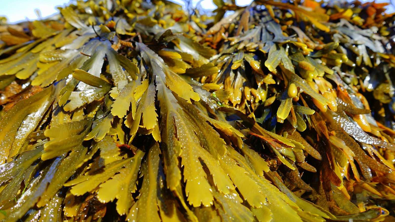 España Directo - Las algas invasoras de Cádiz: al mal tiempo, buenas soluciones