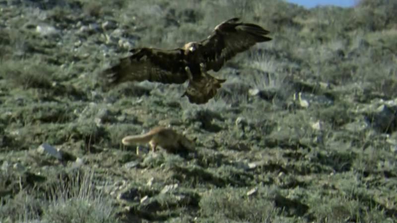 El hombre y la Tierra (Fauna ibérica) - Operación zorro 1 - ver ahora