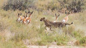 Presa contra depredadors: La supervivència al Serengueti