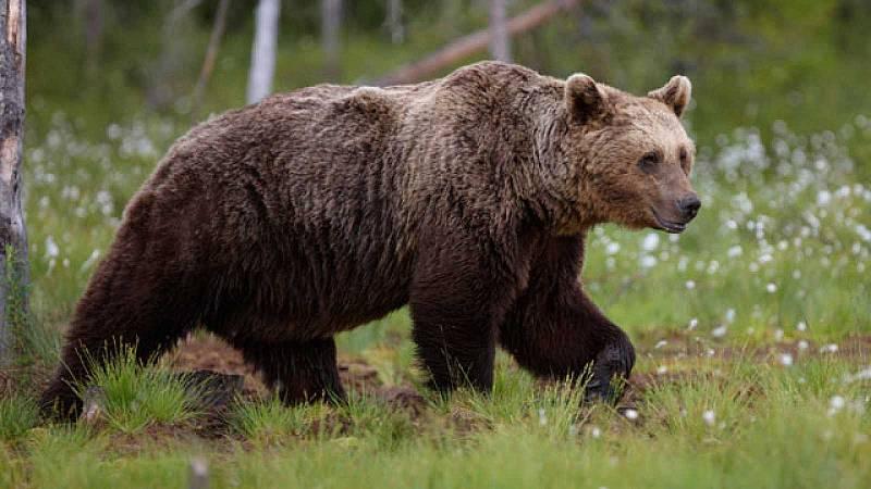 Piden que se investigue la muerte de dos hembras de oso pardo durante dos cacerías