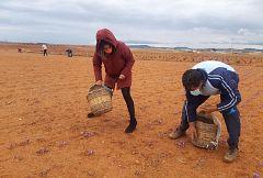 Aquí la Tierra - ¿Sabías que el cultivo del azafrán data desde año 1700 en España?
