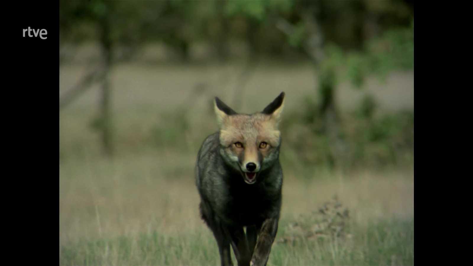 El hombre y la Tierra (Fauna ibérica) - Operación zorro 2 - ver ahora