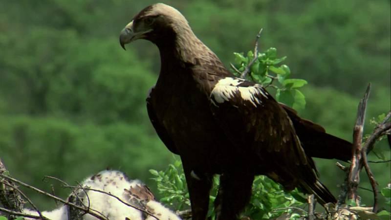 El hombre y la Tierra (Fauna ibérica) - El águila imperial II - ver ahora