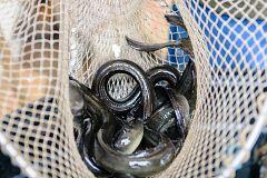 Aquí la Tierra - ¿Cómo es la tradición de la pesca de la angula del norte?