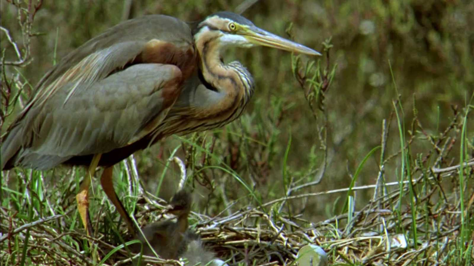El hombre y la Tierra (Fauna ibérica) - El parque nacional de Doñana 2 - ver ahora
