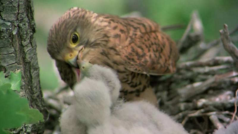 El hombre y la Tierra (Fauna ibérica) - Los pequeños cazadores alados 2 (El cernícalo) - ver ahora