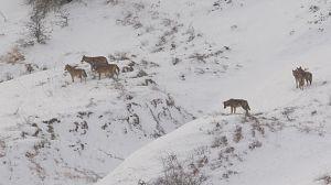 Italia salvaje: El regreso de la manada de lobos