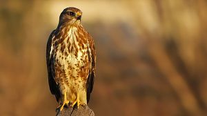 Italia salvaje. Los grandes depredadores: Dos águilas
