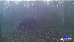 Plantan árbores no Courel para asentar o oso