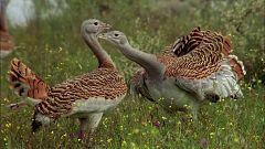 El hombre y la Tierra (Fauna ibérica) - Las aves esteparias 1