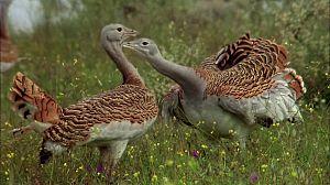 Las aves esteparias 1