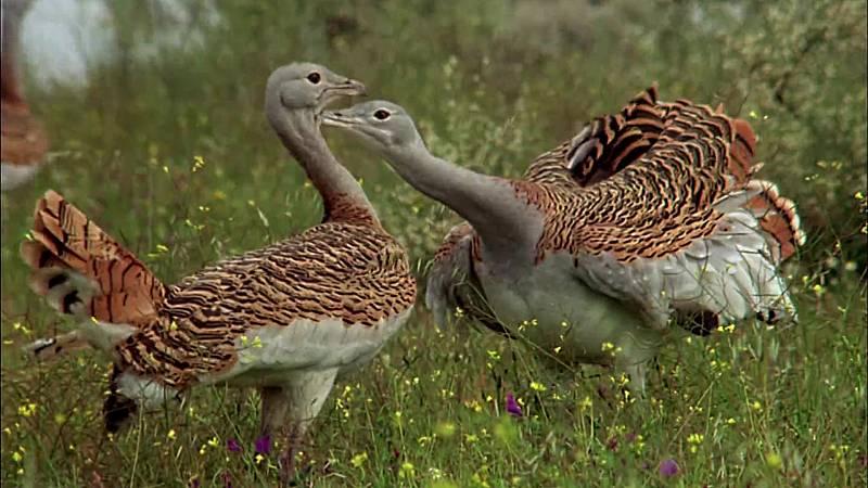 El hombre y la Tierra (Fauna ibérica) - Las aves esteparias 1 - ver ahora