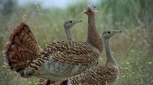 Las aves esteparias 2