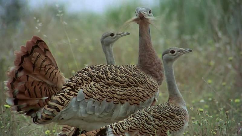 El hombre y la Tierra (Fauna ibérica) - Las aves esteparias 2 - ver ahora