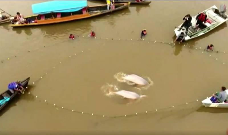Los delfines de agua dulce se encuentran en peligro de extinción en la Amazonia y Asia