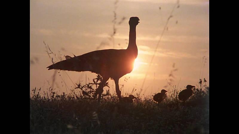 El hombre y la Tierra (Fauna ibérica) - Las aves esteparias 3 - ver ahora