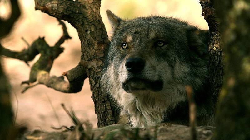 Las comunidades con mayor población de lobos rechazan la prohibición de su caza