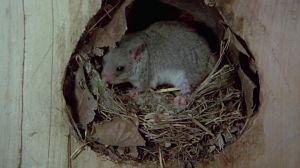 Los roedores 1