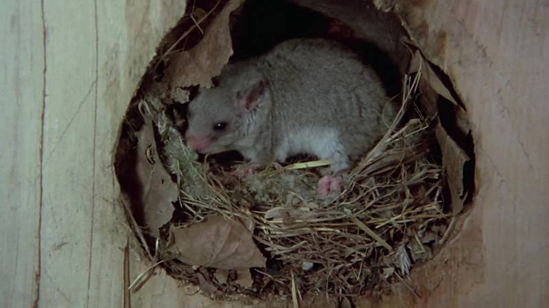 El hombre y la Tierra (Fauna ibérica) - Los roedores 1 - ver ahora