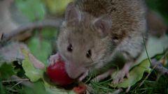 El hombre y la Tierra (Fauna ibérica) - Los roedores 2