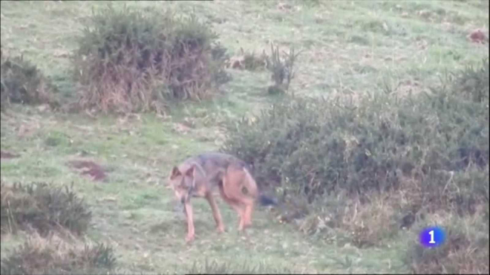 El lobo ha matado 4.000 reses en los dos últimos años