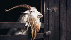 Aquí la Tierra - Una cabra en peligro de extinción: la Blanca de Rasquera
