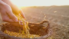 Aquí la Tierra - Del maíz al talo, ¿cómo llegó este cereal al País Vasco?