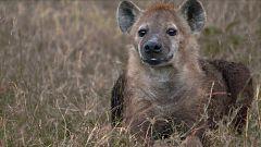 ¡Qué animal! - Hablemos de sexo...de hienas