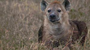 Hablemos de sexo...de hienas
