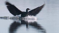 ¿Por qué el cormorán se mueve como pez en el agua?
