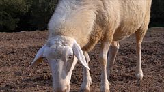 ¡Qué animal! - ¿Se encoge la lana de las ovejas cuando llueve?