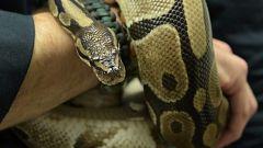 ¿Serpientes con patas?