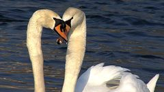 ¿Así que los cisnes también son infieles?