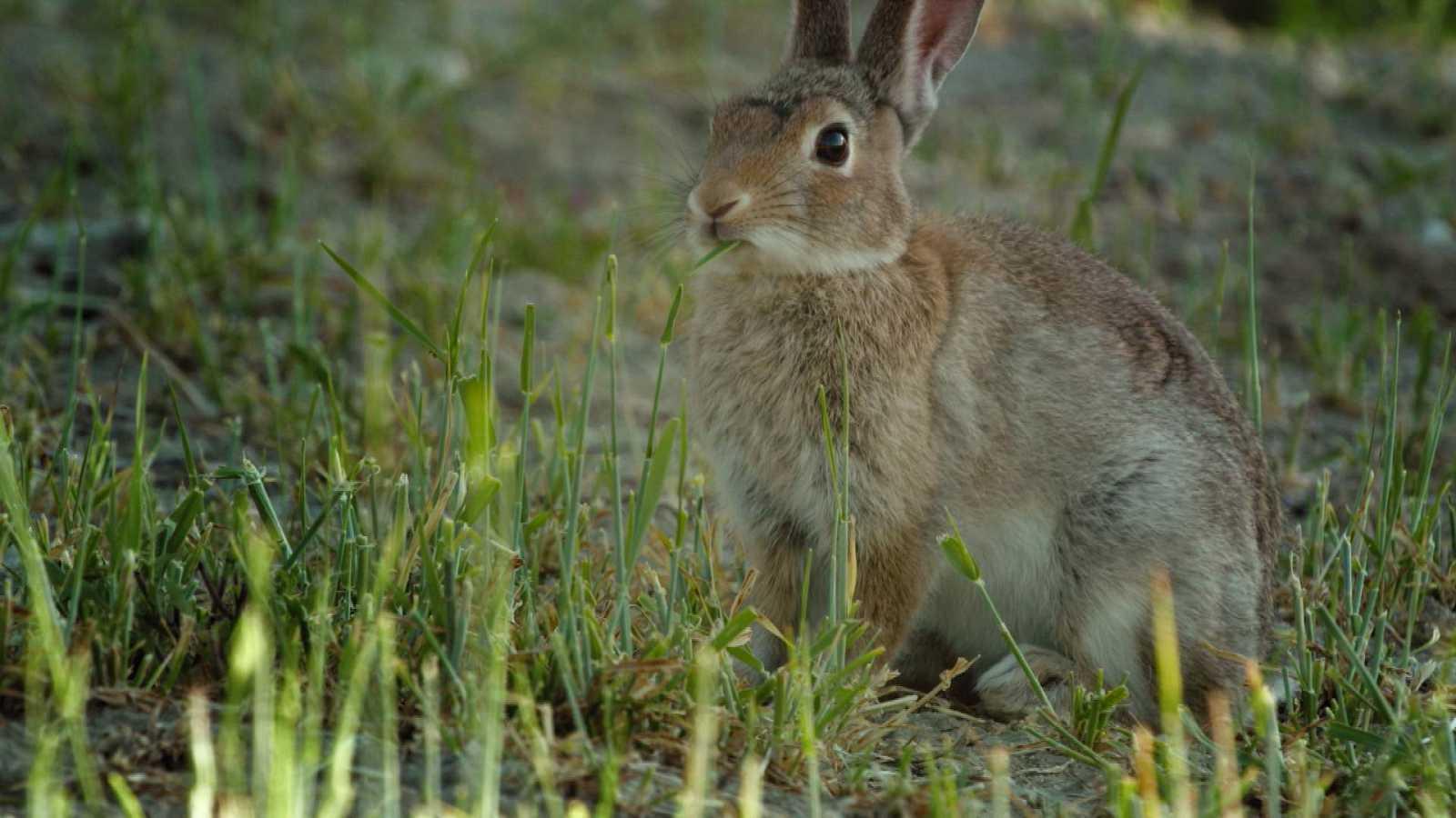 ¡Qué animal! - ¿Cuándo se empezaron a domesticar los conejos?