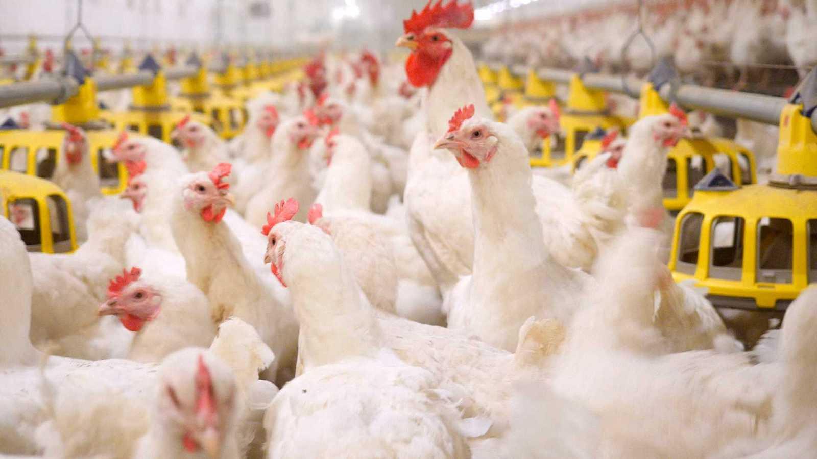 ¡Qué Animal!- ¿Qué fue primero, el huevo o la gallina?  - RTVE.es