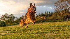 Perros más eficaces que una PCR