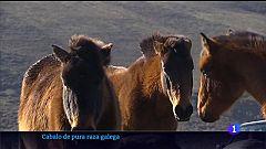 Cen criadores están recuperando o cabalo de pura raza galega para promover a súa equitación e o seu consumo cárnico