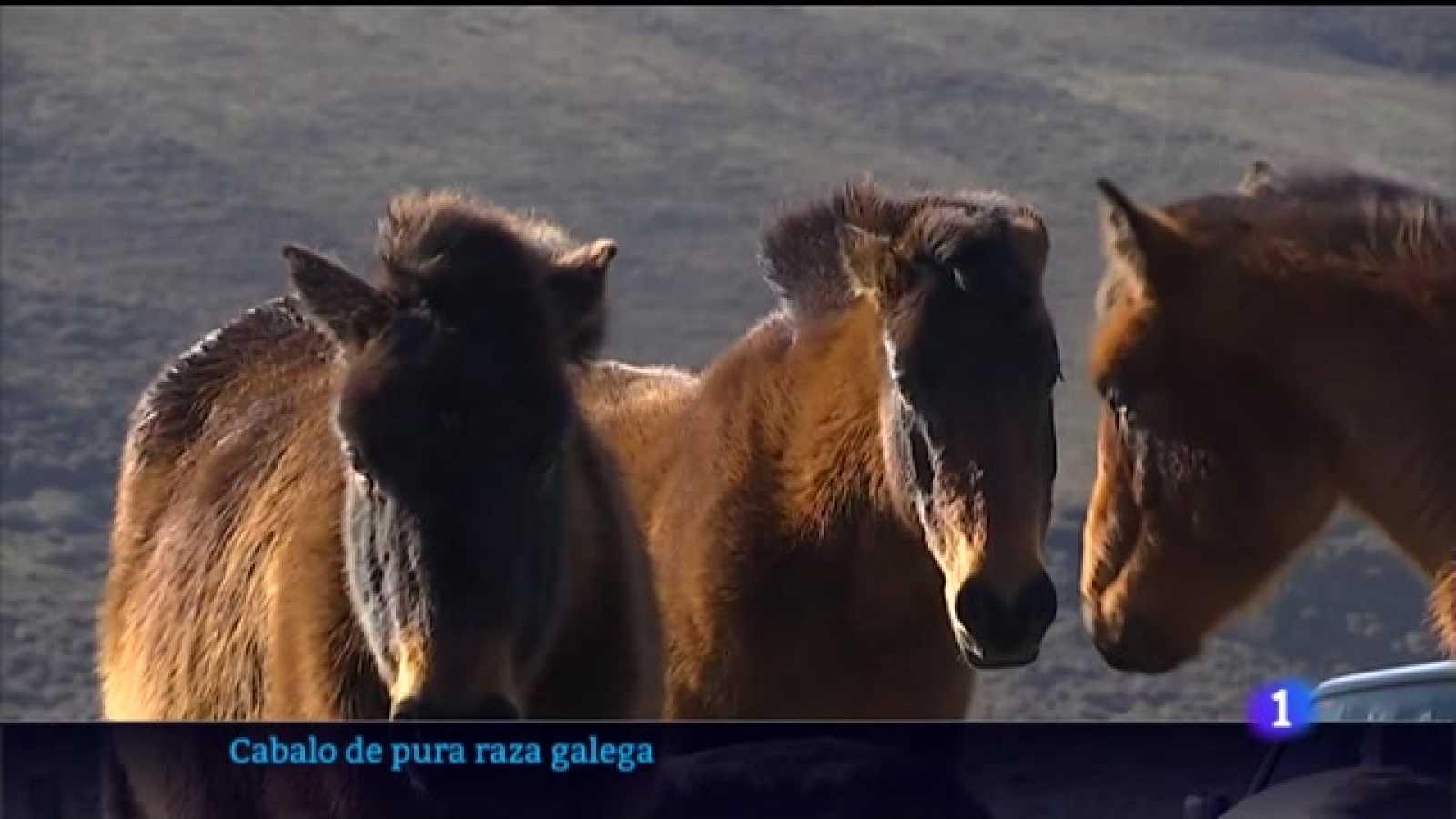 Cen criadores están recuperando o cabalo de pura raza galega
