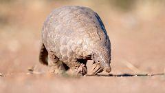 El pangolín, el animal estigmatizado por el coronavirus, en peligro crítico de extinción