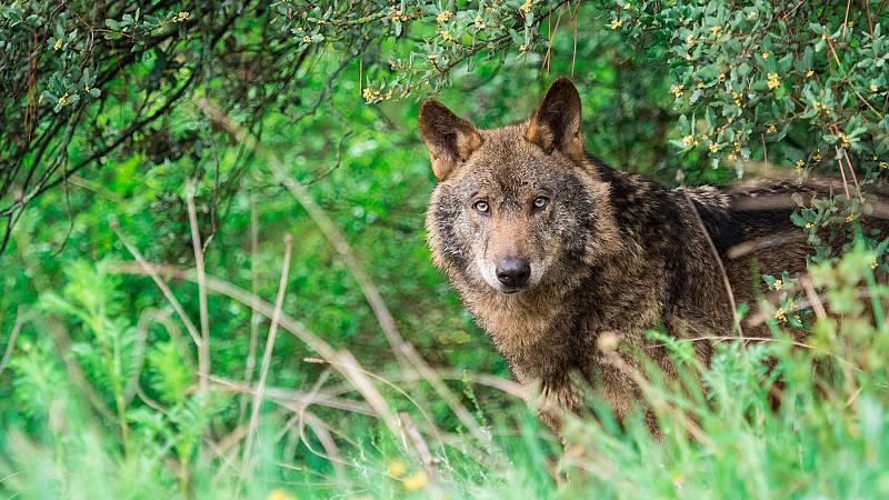 Informe Semanal - En tierra de lobos - ver ahora