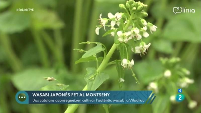 A En Línia |descobrim un cultiu de wasabi al Montseny