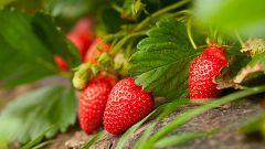 Aquí la Tierra - Fresas de Huelva, denominación de origen
