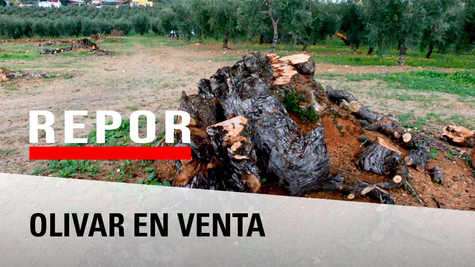 Repor - Olivar en venta reportaje sobre el expolio de olivos milenarios, una riqueza inmaterial que al no ser productivo se arranca para su comercialización entre particulares