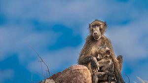 La Reina de los babuinos