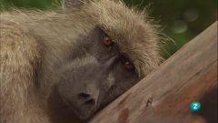 Grans Documentals - La reina dels babuïns