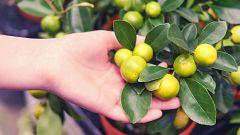 Aquí la Tierra - Juanito Orange nos enseña los cítricos más pequeños
