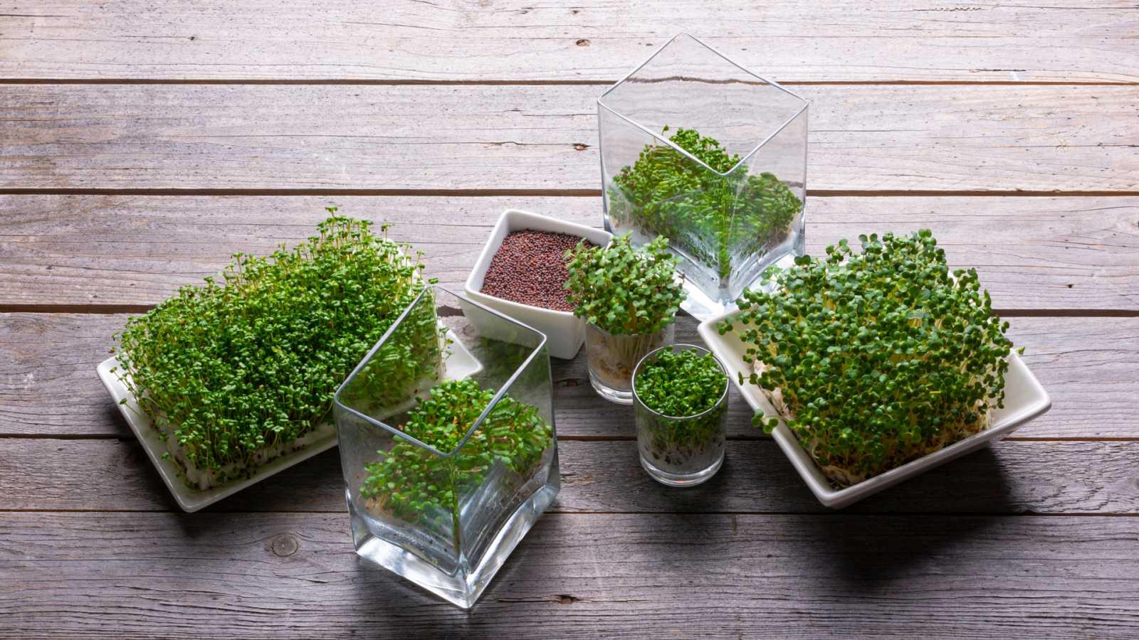 Aquí la Tierra - La mostaza: una semilla con múltiples usos